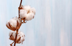 Le coton bourgeonne la branche. Photo libre de droits