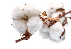 Le coton bourgeonne la branche. Photographie stock