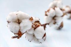 Le coton bourgeonne la branche. Images libres de droits