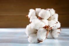 Le coton bourgeonne la branche Photographie stock libre de droits