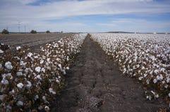 Le coton met en place prêt pour moissonner dans l'Australie Images libres de droits