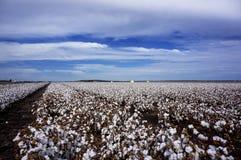 Le coton met en place prêt pour moissonner dans l'Australie Image libre de droits