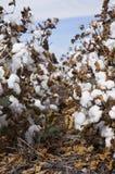 Le coton met en place prêt pour moissonner dans l'Australie Photo libre de droits