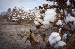 Le coton met en place prêt pour moissonner dans l'Australie Images stock