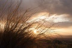Le coucher de soleil et rougeoyer opacifie la lumière arrière l'herbe de riz indienne Photo stock