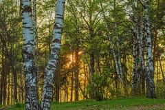 Le coucher de soleil, la forêt et le bouleau Photos libres de droits