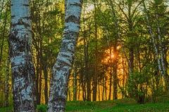 Le coucher de soleil, la forêt et le bouleau Images libres de droits