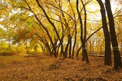 Le coucher du soleil d'or et tombé de feuilles Images stock