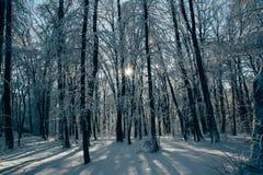 Le coucher du soleil dans le bois entre les arbres tend en hiver Photo stock