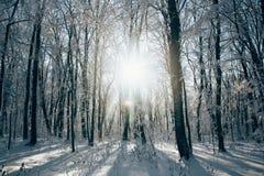 Le coucher du soleil dans le bois entre les arbres tend en hiver Images stock