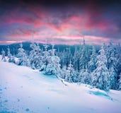 Le coucher du soleil dramatique d'hiver en montagnes carpathiennes avec la neige s'est recroquevillé image stock