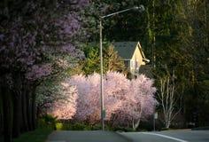 Le coucher du soleil tôt accentue les cerisiers de floraison dans la banlieue de Seattle photographie stock
