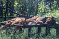 Le couple de lion dort sur la plate-forme en bois photo stock