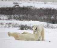 Le couple des ours blancs détend. Images stock