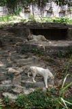 Le couple des tigres blancs marche en parc de safari Image stock