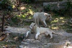 Le couple des tigres blancs marche en parc de safari Images stock