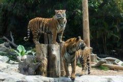 Le couple des tigres d'Amur marche en parc de safari Image libre de droits