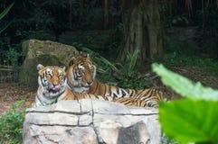 Le couple des tigres d'Amur marche en parc de safari Images stock