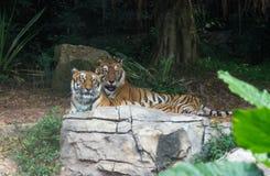 Le couple des tigres d'Amur se situe en parc de safari Images libres de droits