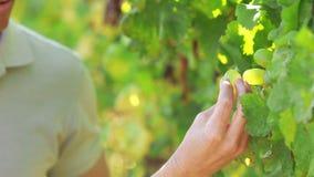 Le couple remet sélectionner les raisins verts clips vidéos