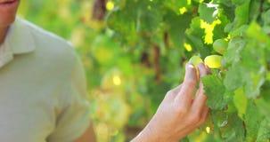 Le couple remet sélectionner les raisins verts banque de vidéos