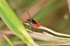 Le coutil en bois (Ixodidae) photo libre de droits