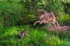 Le coyote (latrans de Canis) saute après le chiot - chiot dans le mouvement Photos stock
