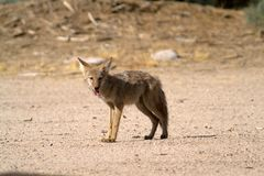 Le coyote se tient sur le sable dans le désert de Mojave Photographie stock