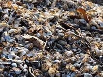 Le cozze e le conchiglie hanno lavato su sulla spiaggia di Cayuga nell'inverno fotografie stock libere da diritti