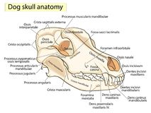 Le crâne d'un chien Structure des os de la tête, conception anatomique Dans le latin illustration stock