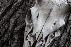 Le crâne de cerfs communs a rompu accrocher sur un arbre photographie stock