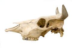 Le crâne de la vache Image stock