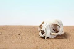 Le crâne du chat moitié-est enterré en sable de désert Images stock