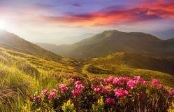 Le crépuscule coloré étonnant en montagnes avec la lumière du soleil majestueuse et le rhododendron rose fleurit sur le premier p Photos libres de droits