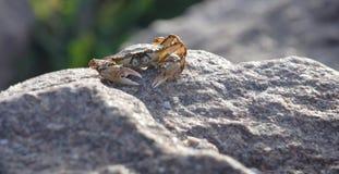 Le crabe Photos libres de droits