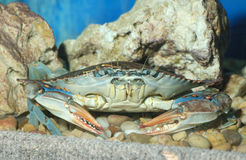 Le crabe images stock