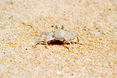 Le crabe blanc indique bonjour Photos libres de droits