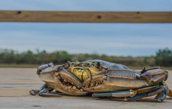 Le crabe bleu Photographie stock