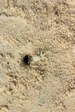 Le crabe de bébé Photos libres de droits