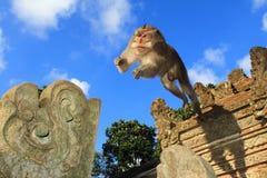 Le crabe de mâle adulte mangeant le Macaque sautent, temple de singe d'Ubud, Bali, Indonésie Photos stock