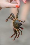 Le crabe est dans la main de la fille sur la plage image libre de droits