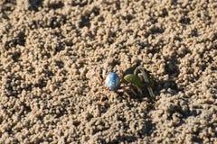 Le crabe et la feuille de palétuvier Photographie stock