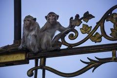 Le crabe mangeant des Macaques lèvent le réverbère Photographie stock
