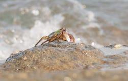 Le crabe montant la roche Image libre de droits
