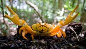 Le crabe terrestre a écarté ses griffes cuba image libre de droits