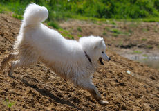 Le crabot de samoyed Photographie stock libre de droits