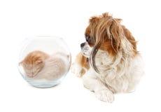 Le crabot regarde dans un vase avec des chatons Photo stock
