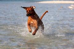 Le crabot sautant dans l'eau Photographie stock