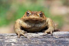 Le crapaud Bufo Bufo est un indigène de grenouille aux régions arénacées et de lande de l'Europe photographie stock