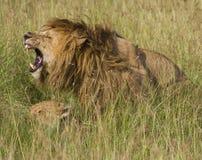 Le cri du lion dans l'amour Photographie stock libre de droits